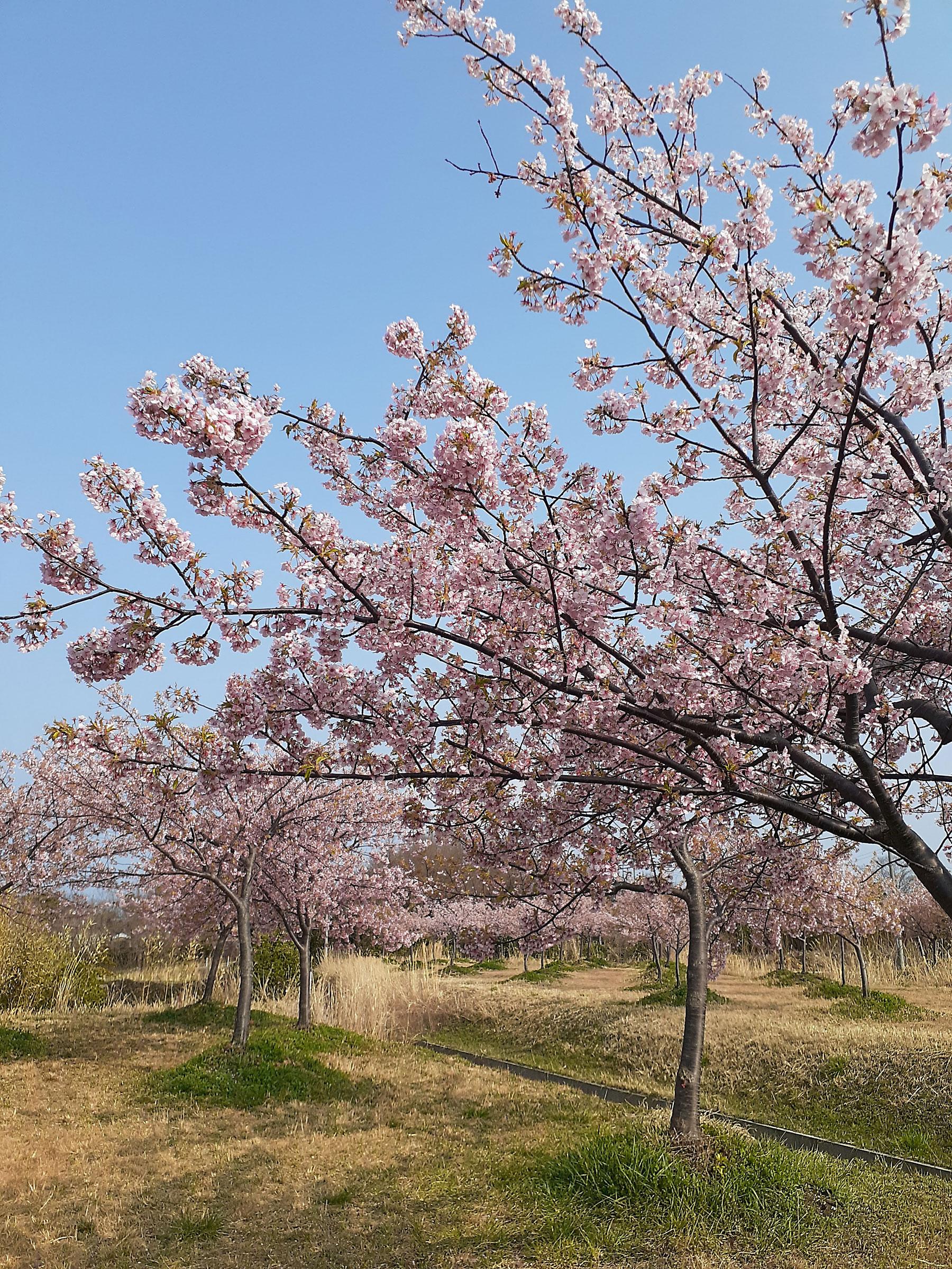 大根島の河津桜