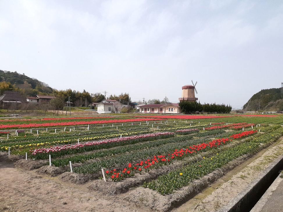 安来市伯太のチューリップ畑