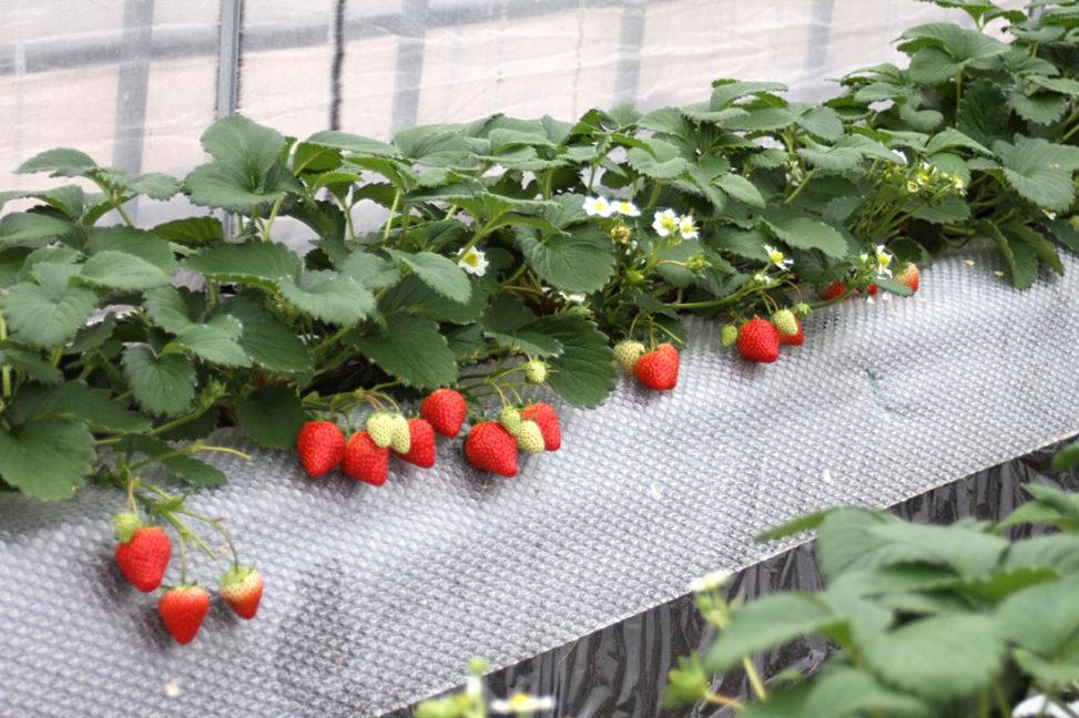 紅ほっぺの赤い実