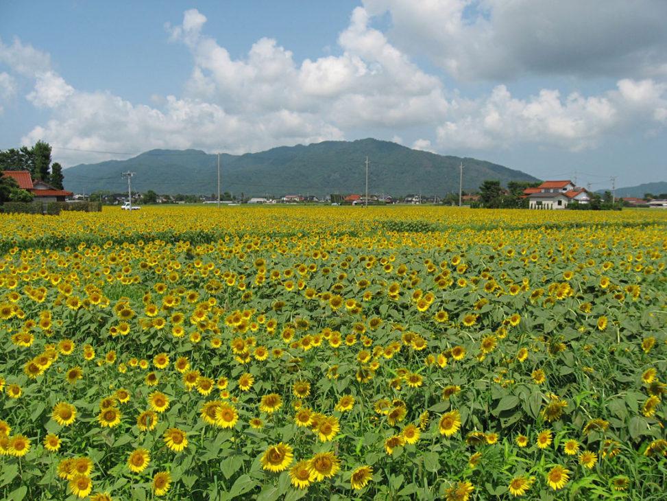 島根県 ひまわり畑の写真