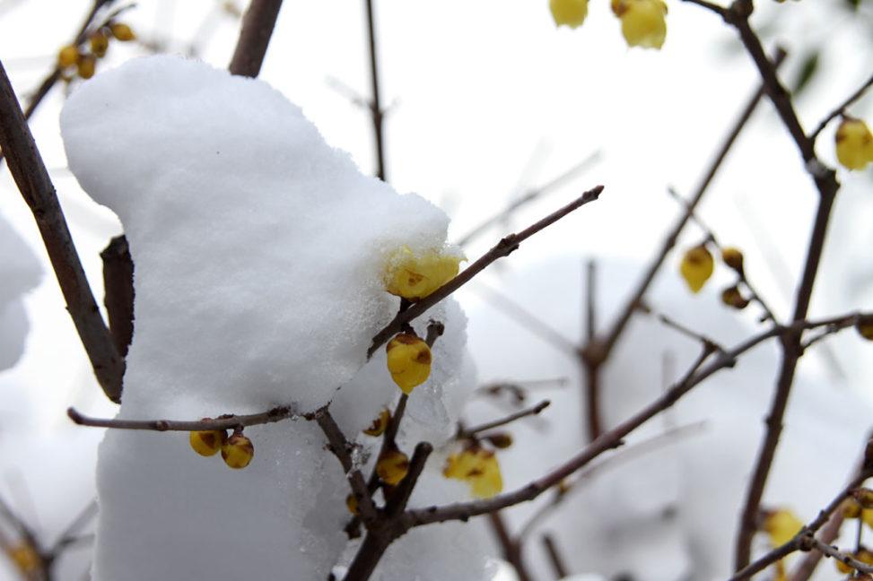 雪をかぶった蝋梅