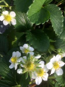 咲き誇るいちごの花