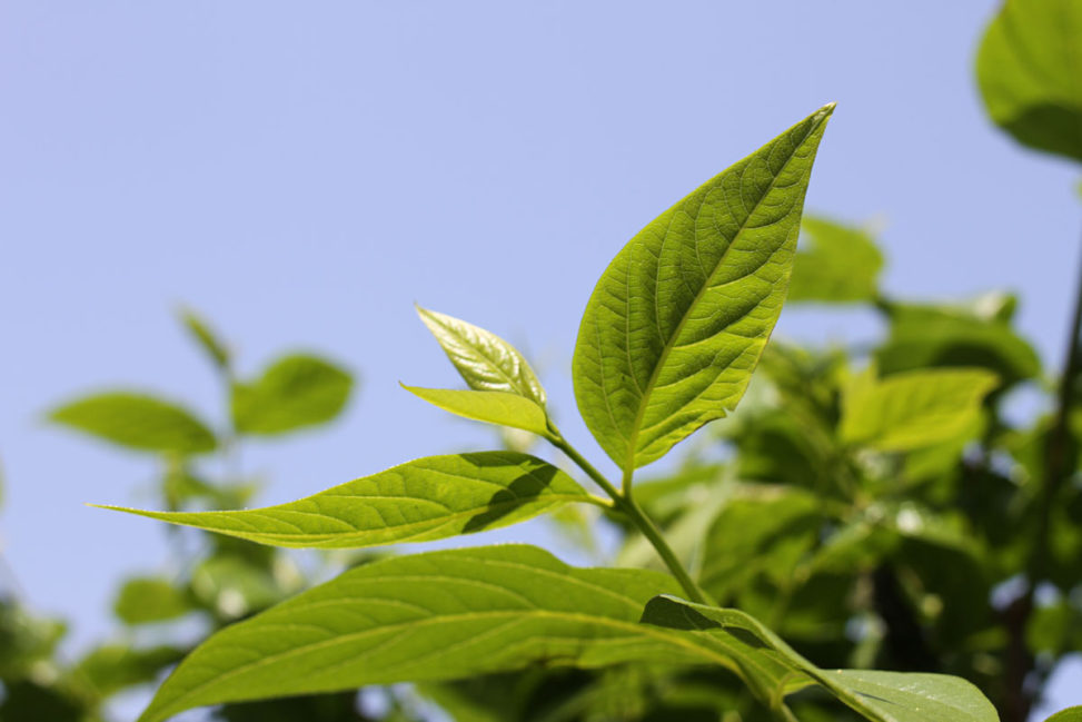新緑の若葉