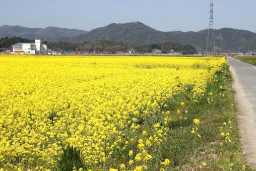 安来市内の菜の花畑