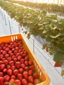 紅ほっぺの収穫