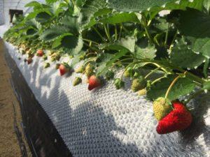 土耕栽培の紅ほっぺ