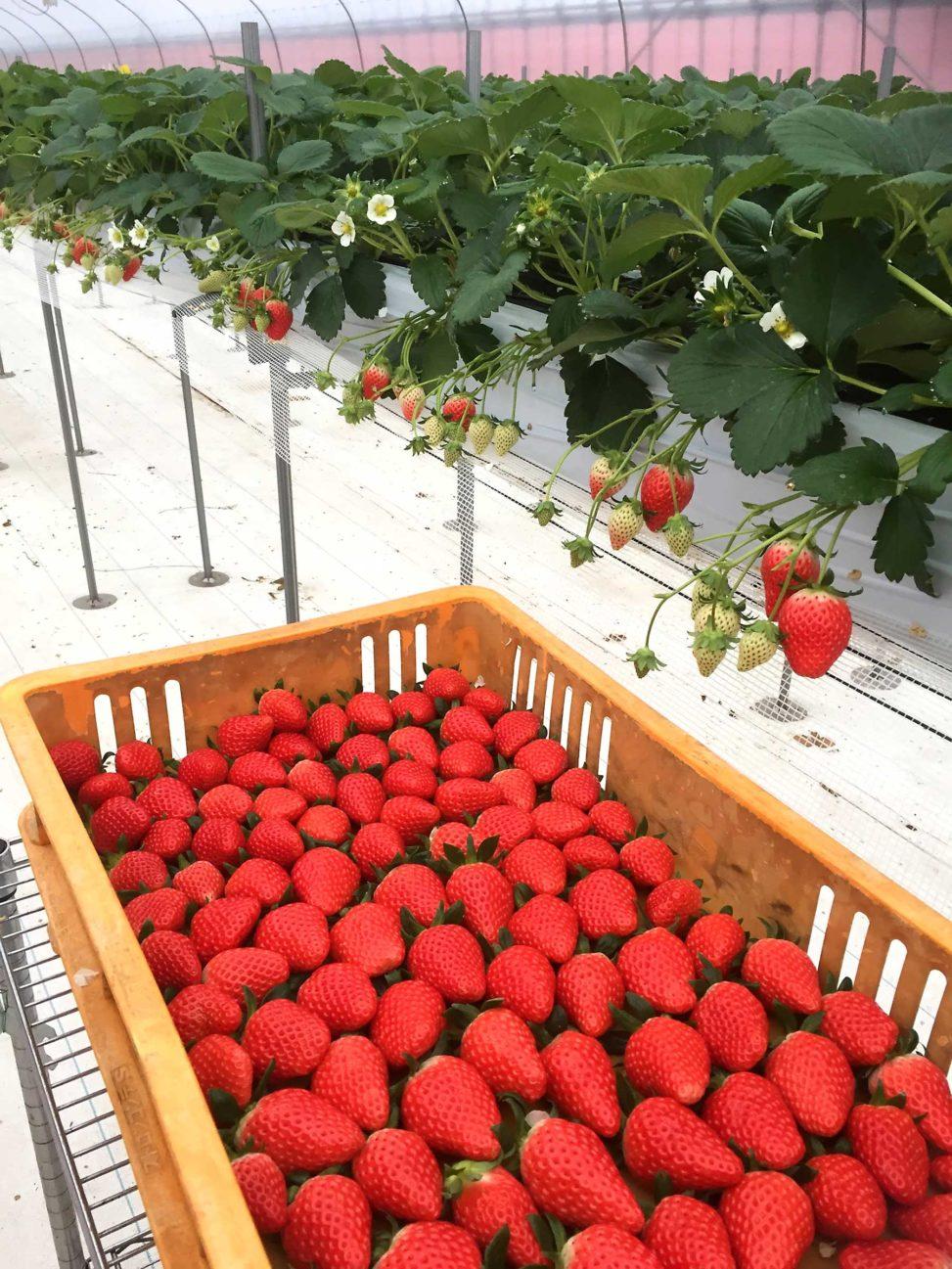 高設いちごの収穫