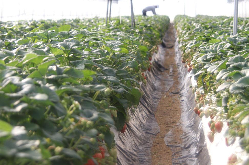 イチゴ紅ほっぺの葉欠き
