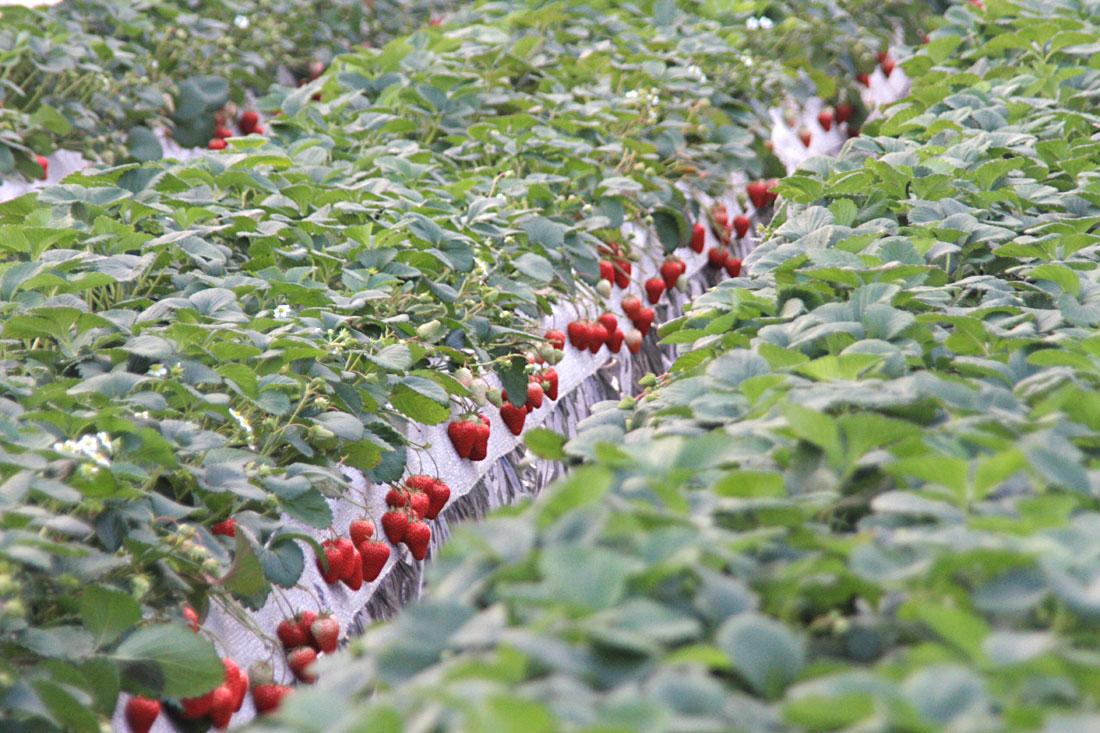 安来のイチゴ 紅ほっぺ