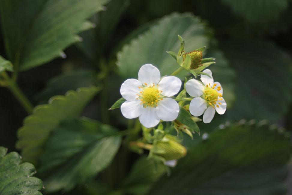 安来紅ほっぺの花