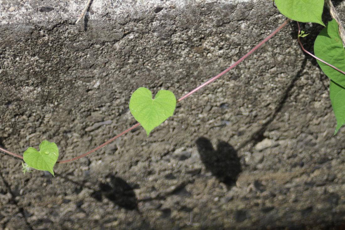 ハートマークの雑草の葉