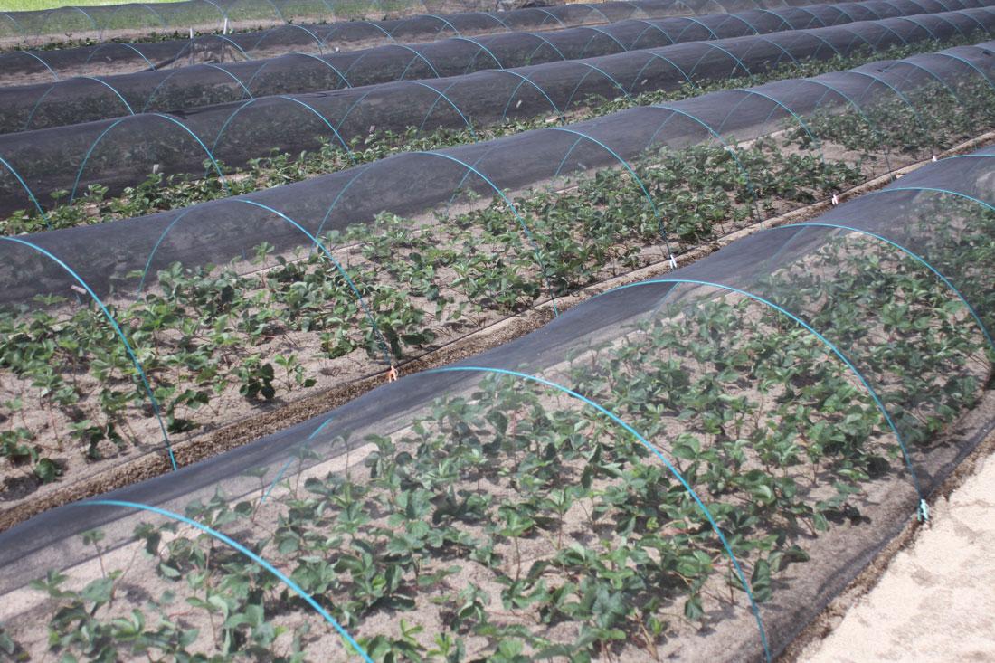 家庭菜園用のいちご苗
