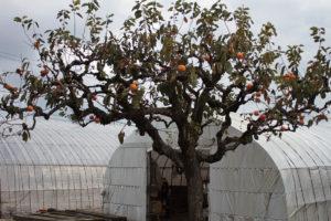 70年ものの柿の木