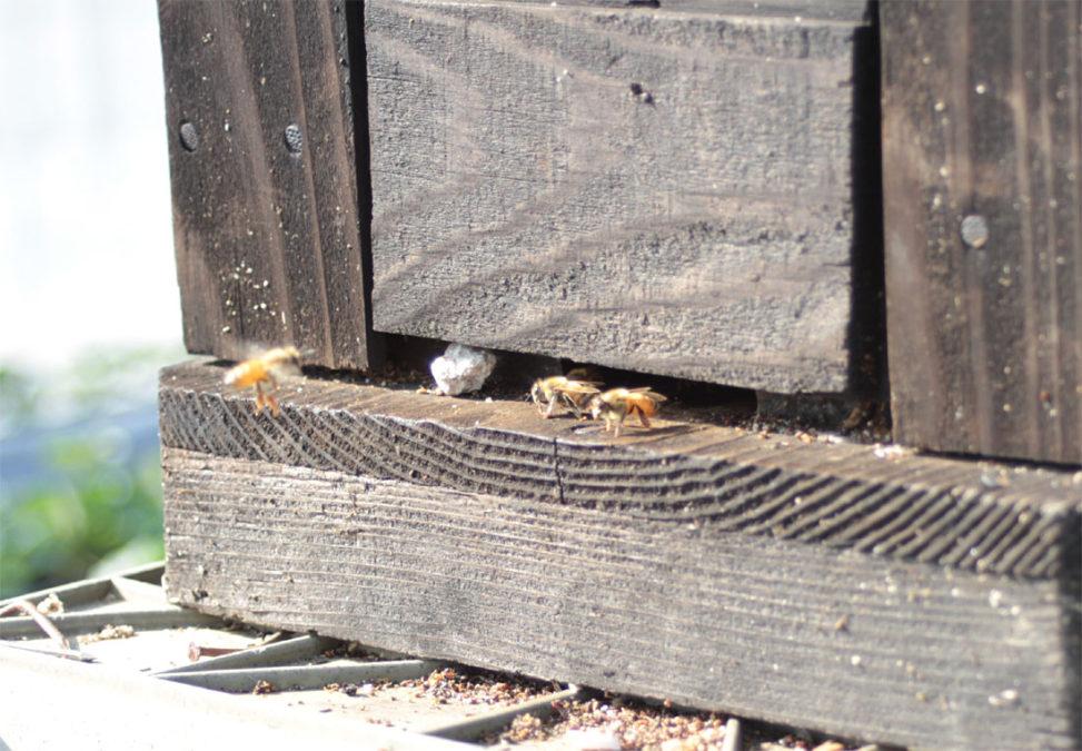 巣箱に戻るミツバチ