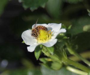 ミツバチの働き