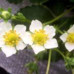 いちごの花 5枚の花びら