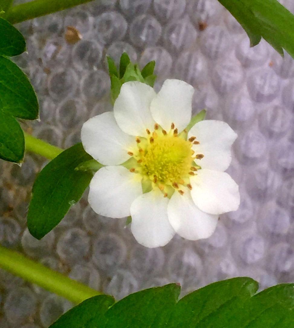 いちごの花 花びら8枚