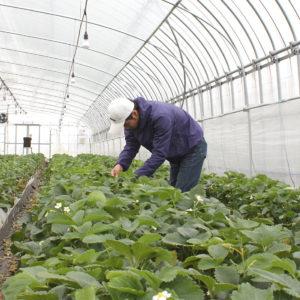 島根県産紅ほっぺの摘果作業