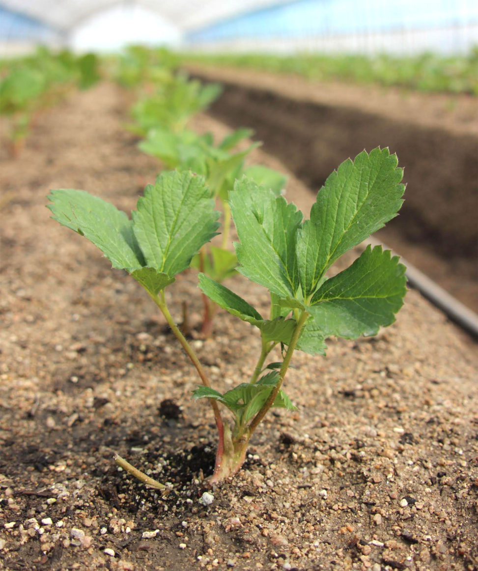 定植されたいちご苗