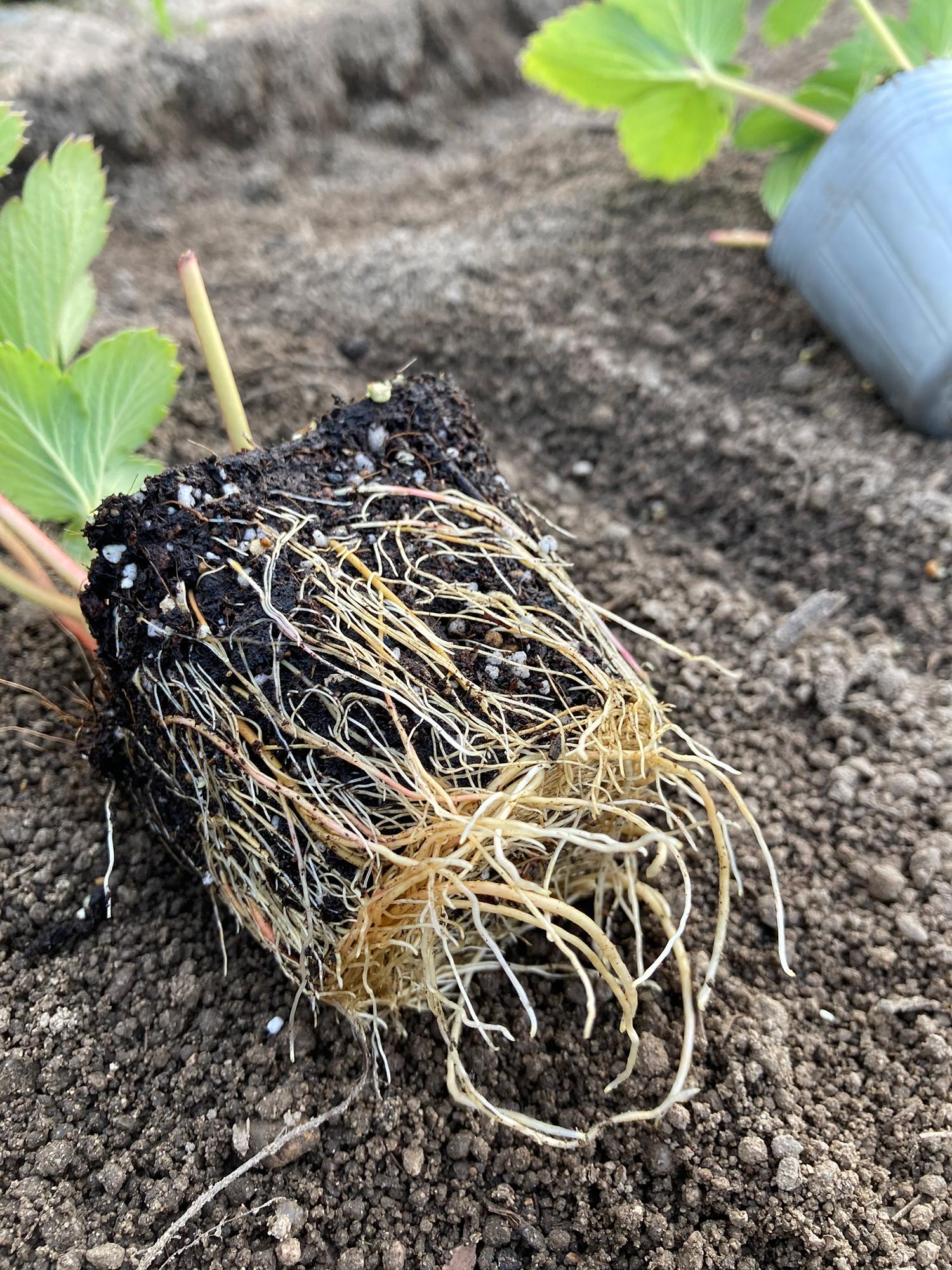 いちご苗の根っこ