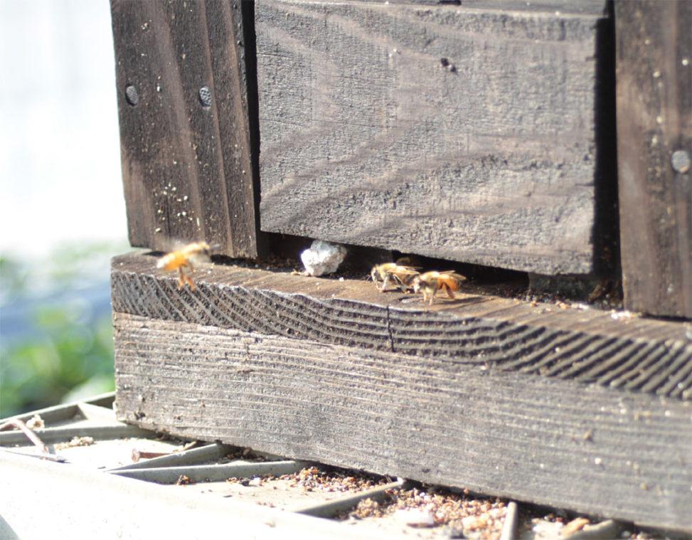 巣箱に帰るミツバチ