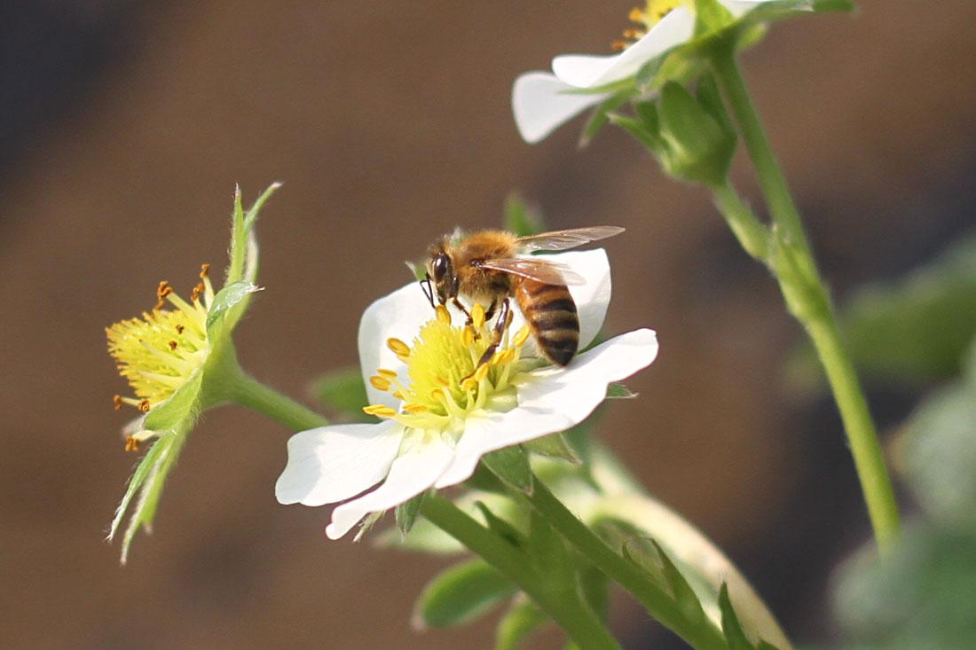 ミツバチ受粉