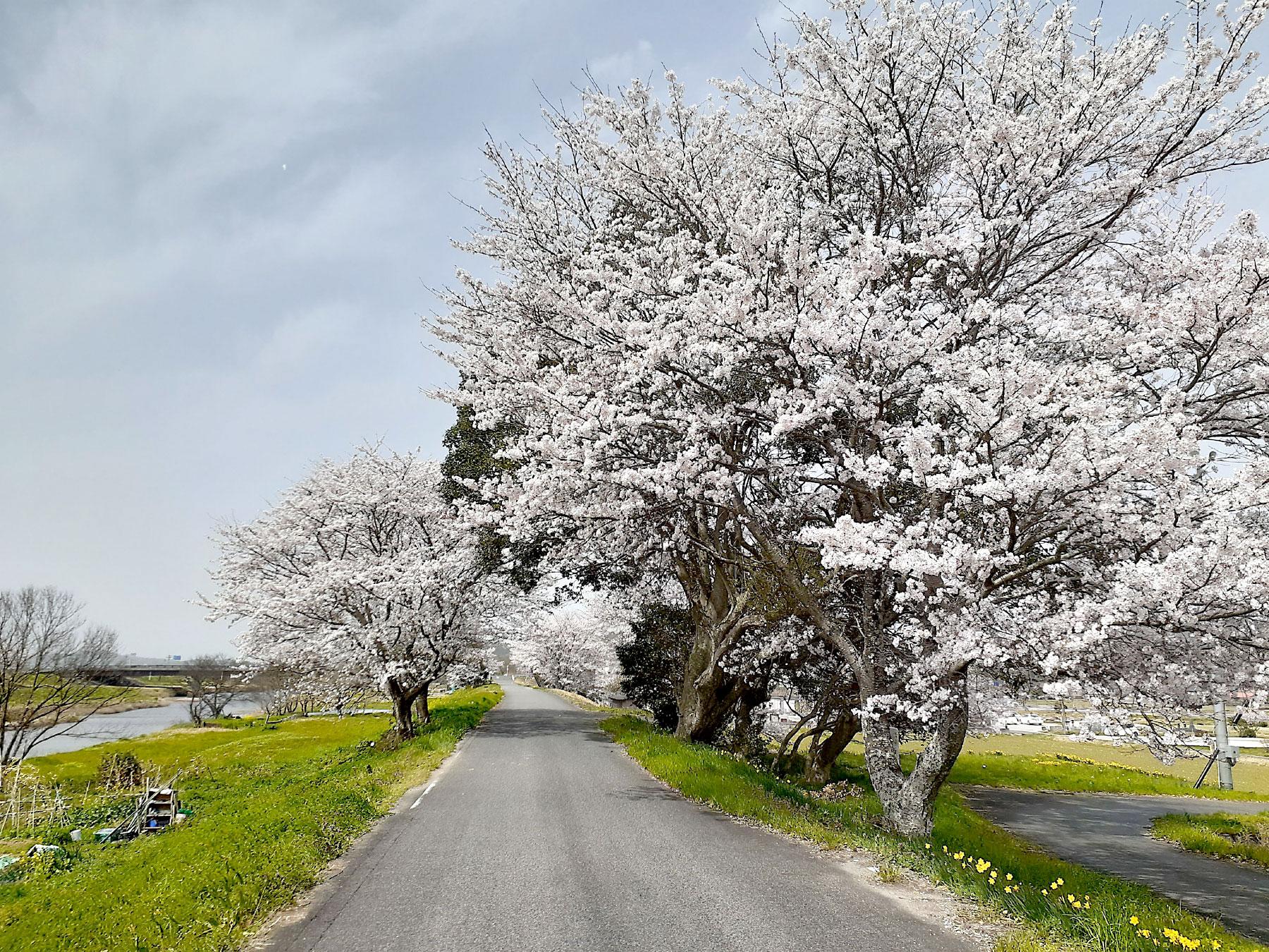 春爛漫 桜も満開