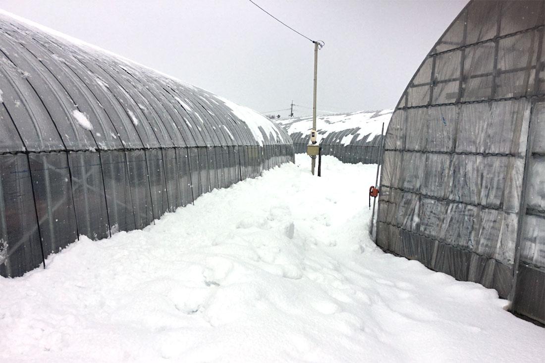いちごハウスも大雪