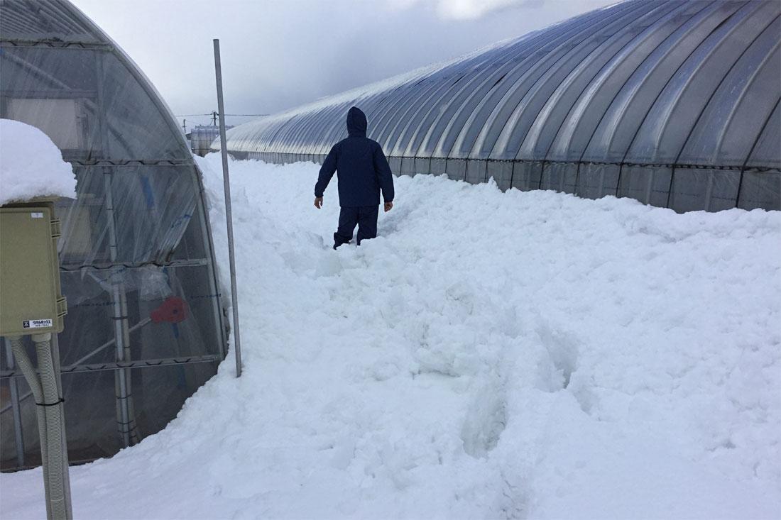 いちご(紅ほっぺ)ハウスの雪