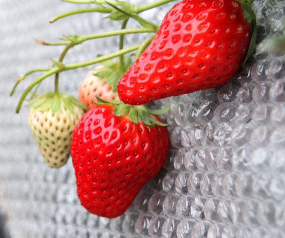 イチゴの魅力