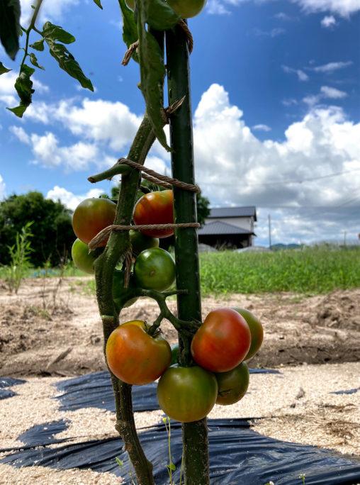 夏空と自家製トマト